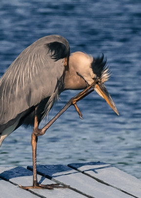 The poking my eye out heron