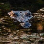 crocodile belize tropical education centre