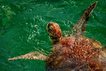 wild sea turtle in bahamas