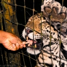 jaguar eating a chicken's foot