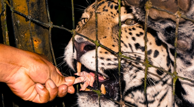 Jaguar Being Fed A Chicken's Foot At Caribbean Wildlife Centre Belize