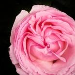 love rose paris