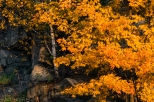 lone birch growing on rock outcrop