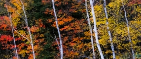 birch trees with a backdrop of fall color