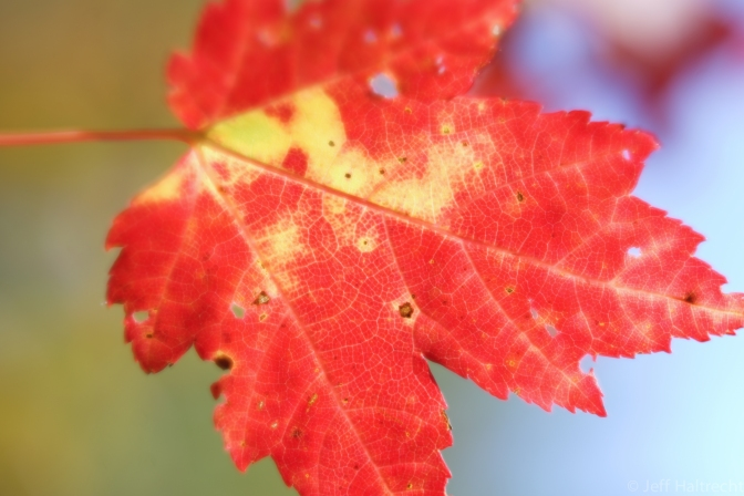 A Real World Interpretation Of The Canadian Flag's Maple Leaf, Photographed With New Lensbaby Velvet 56