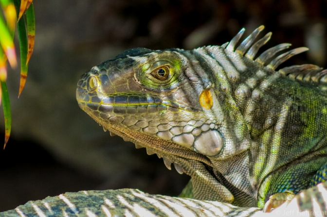 An iguana hiding in the shadows by the pool