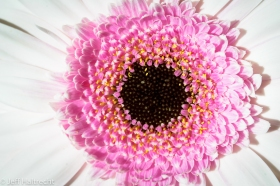 macro view white pink gerbera flower