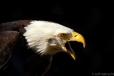 bald eagle mountsberg conservation area halton