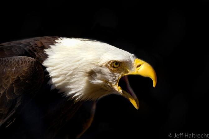 Bald Eagle Making A Statement
