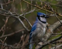 blue jay bird taking in the sunshine