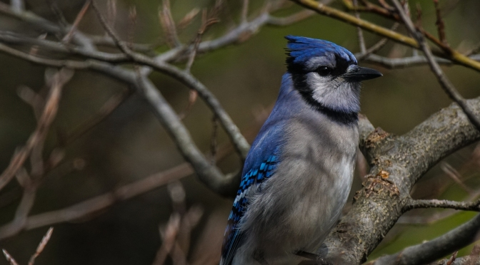 Blue Jay Taking In The Sunshine