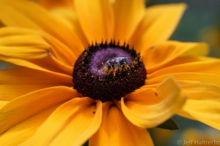 macro view of bee with pollen and blackeyed susan flower