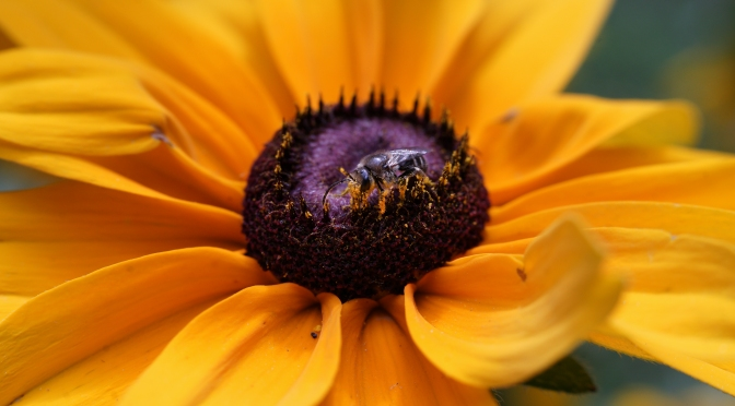 Super Close And Detailed With The Bee And The Blackeyed Susan