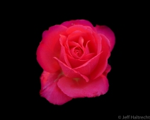 the seasons last pink rose