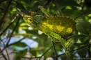 camouflaged chameleon hanging in a tree hawaii