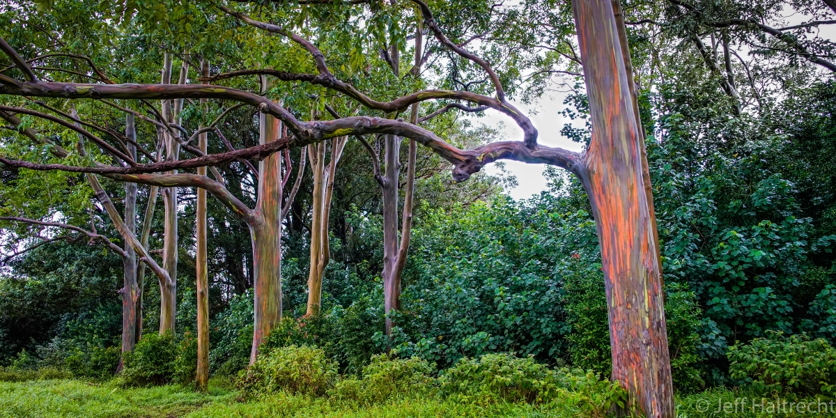The Multi-Colored Rainbow Eucalyptus Trees of Maui, Hawaii