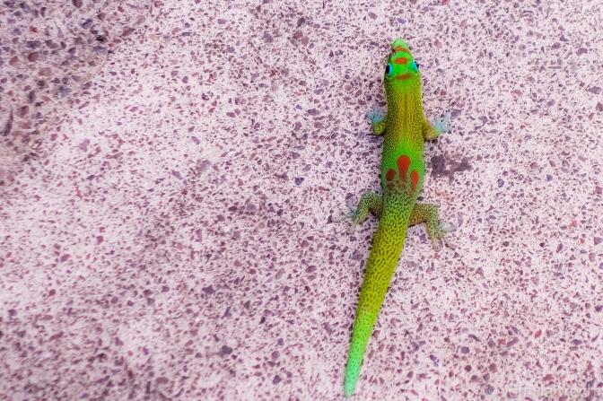 Have You Ever Been Up-close With A Gold Dust Day Gecko?