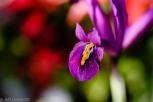 purple flower orange tongue spring royal botanical gardens burlington
