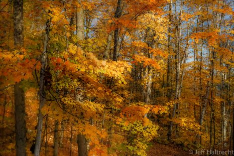 bright and still fall forest of canada with colorful leaves