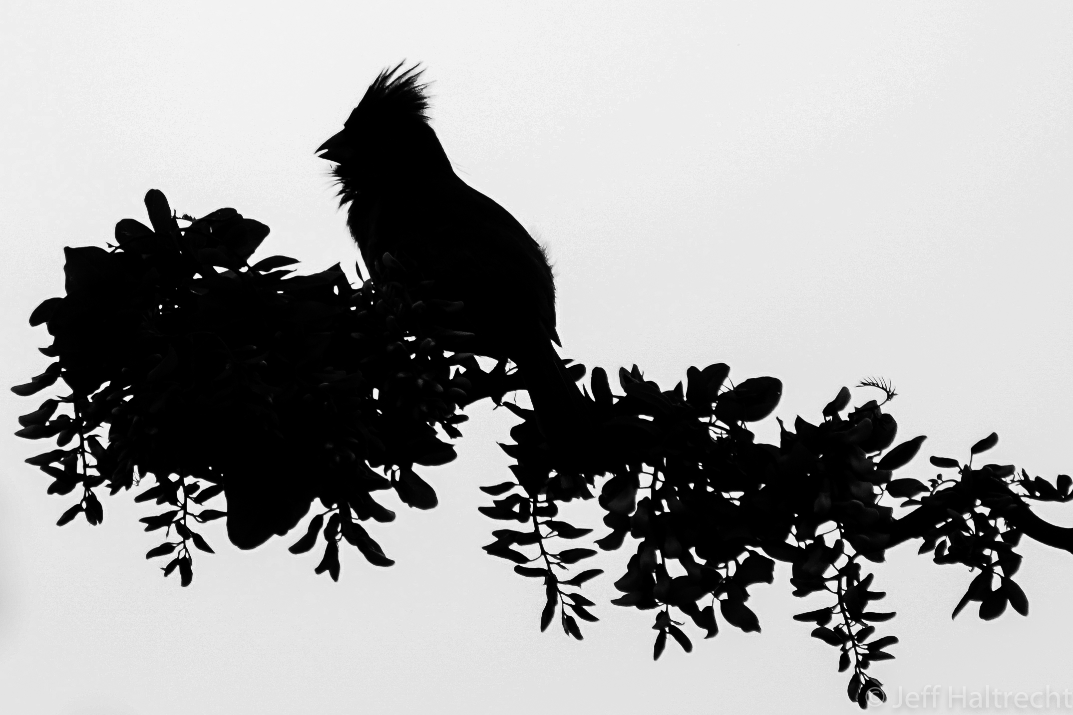 silhouette of male cardinal on branch