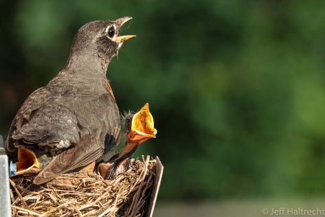 female american robin chicks chirping nesting