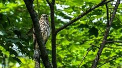 broad-winged hawk muskoka ontario echo lake