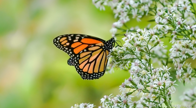 Monarch Butterfly Taking A Rest From Its Migration