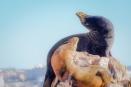 california sea lions male female los cabos mexico