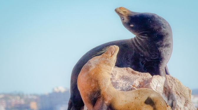 Male and Female California Sea Lions off Los Cabos, Mexico