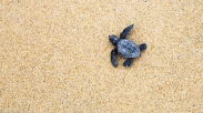 baby sea turtle hatchling on way to the sea