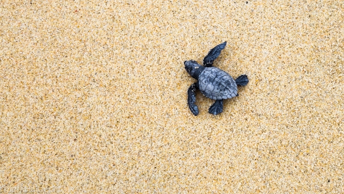 Baby Sea Turtle Hatchling On Way To Sea