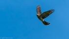 sharp-shinned hawk sharpie hawk cliff migration