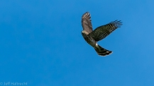 sharp-shinned hawk sharpie hawk cliff migration