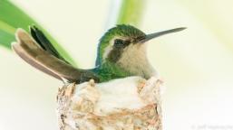 blue tailed emerald hummingbird female nesting curacao