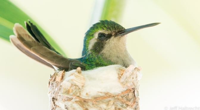 Blue Tailed Emerald Hummingbird nesting in a palm tree