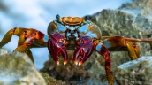 sally lightfoot crab grapsus grapsus red rock crab curacao